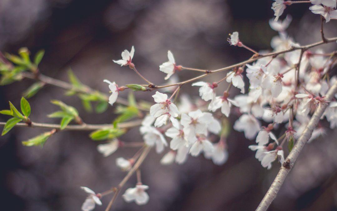 Protégé: Fond d'écran smartphone Sakura